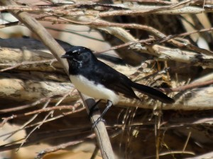 A friendly willie wagtail greeted our arrival. Photo M. Tattersall.