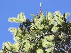 Melaleuca viridflora in flower. Photo M. Tattersall.