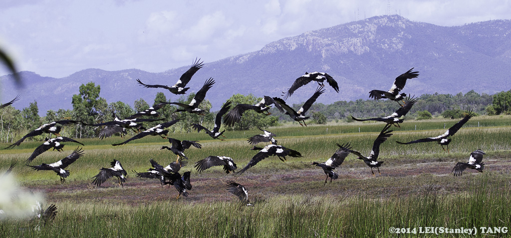 Magpie geese take flight. Photo Stanley Tang.
