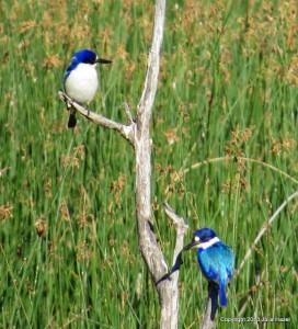 A dazzle of kingfishers. Photo Julia Hazel.