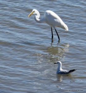 Great egret and seagull off the Rowes Bay Esplanade. Photo Julia Hazel.