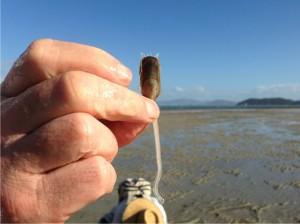 The 'living fossil' Lingula anatina. LD photo.