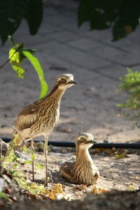 Bush stone curlews. Photo Melissa Fly.