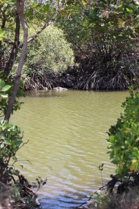 Creek glimpse through mangroves. Photo Melissa Copnell.