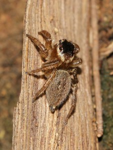 Brown jumping spider. Photo Malcolm Tattersall.