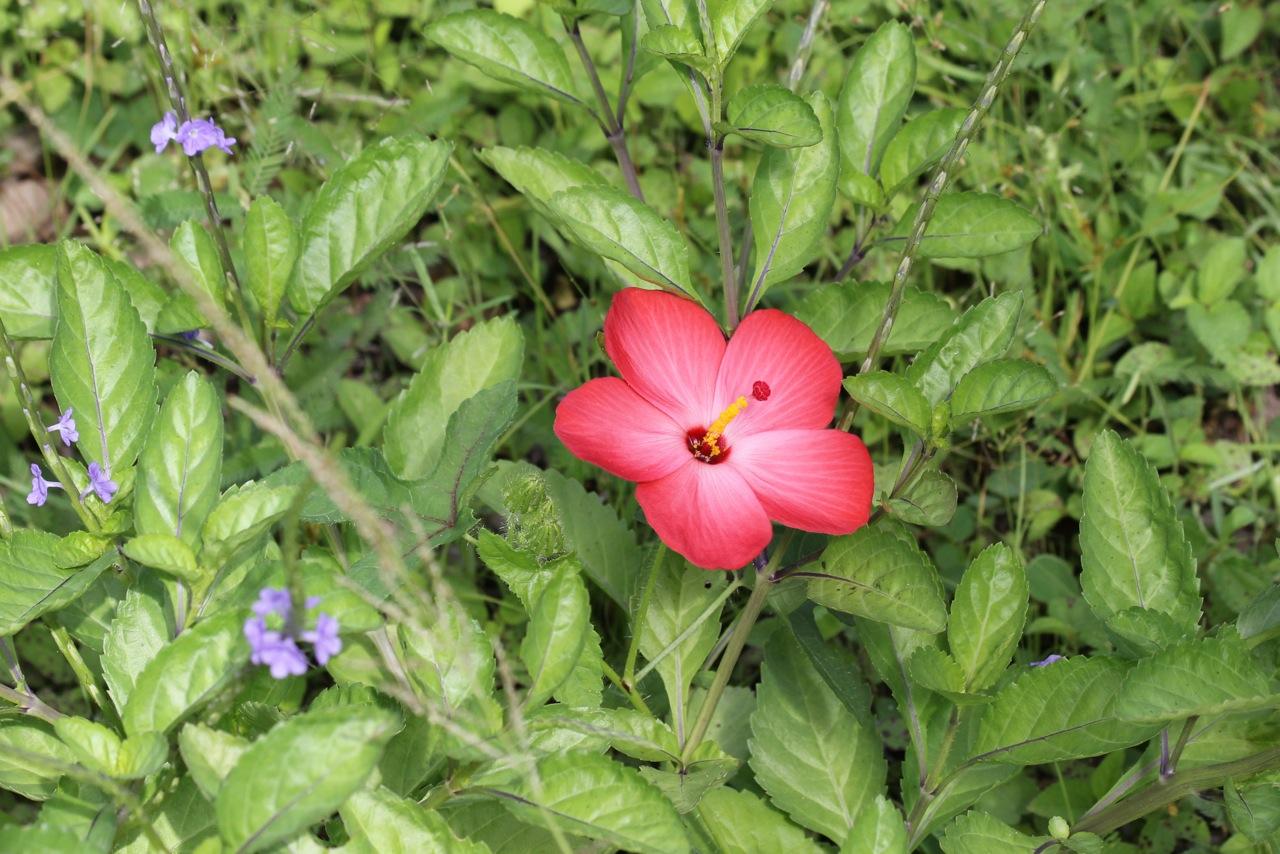 Native rosella (Abelmoschus moschatus ssp. tuberosus). Photo Malcolm Tattersall.