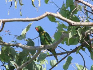 Scaly-breasted lorikeet. Photos Malcolm Tattersall.