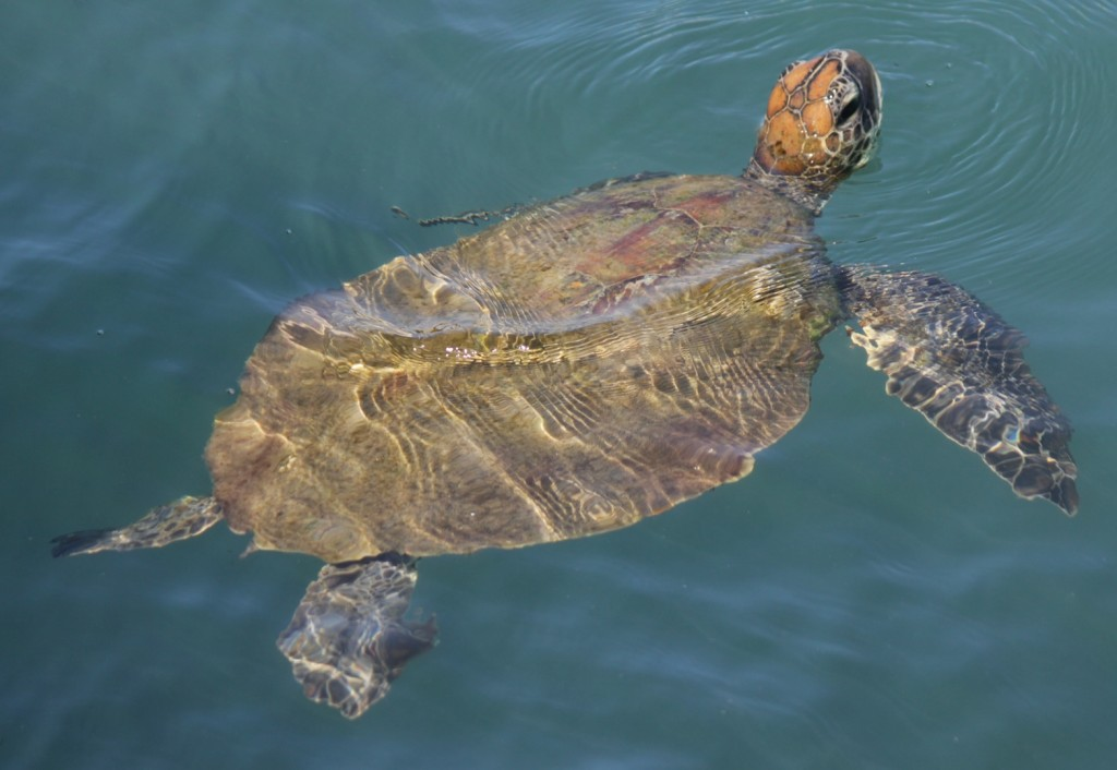 What a beauty! We are welcomed by a green turtle. Photo Melissa Copnell.