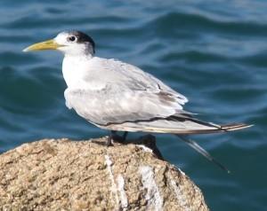 Crested tern (juvenile). Photo Melissa Copnell.