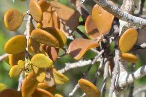 Mangrove mistletoes. Photo Malcolm Tattersall.