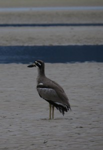 Beach stone curlew. Photo Julia Hazel.
