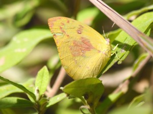Lemon migrant butterfly. Photo Malcolm Tattersall.