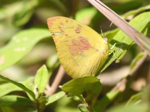Lemon migrant butterfly. Photo Malcolm Tattersall.