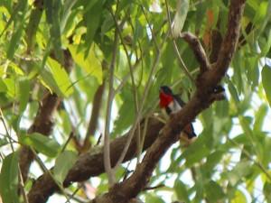 Mistletoebird. Photo Pam Cocks.