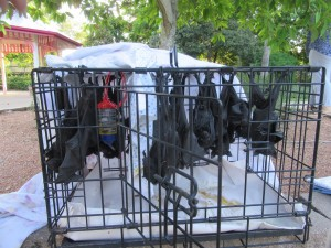 Black flying-fox babies rescued from Dan Gleeson Gardens