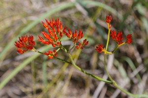 Haemodorum coccineum. Photo Malcolm Tattersall.