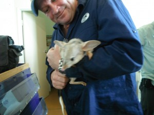 Bilby Sarah - or was it Susan? -  with handler Kev Bradley.