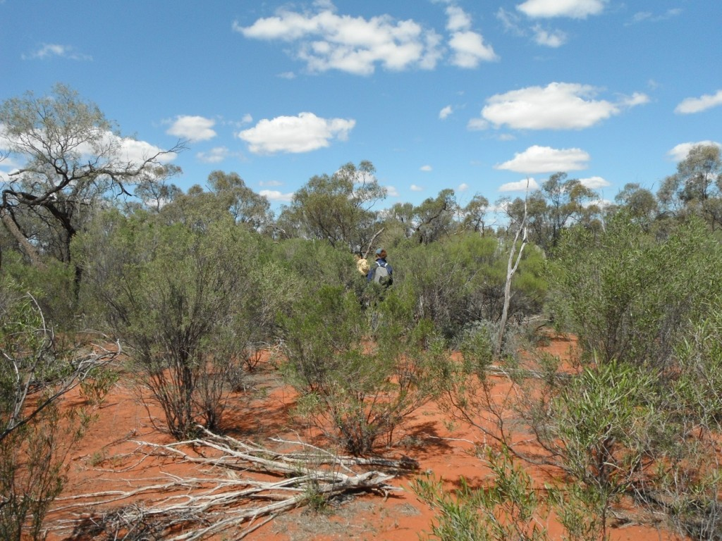 Inside the bilby enclosure at Currawinya NP. Photo Denise Seabright.