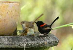 Red-backed wrens cone for a drink. Photo Bronwyn Scott.