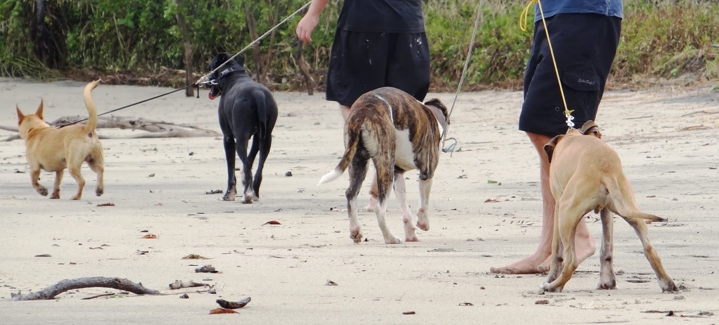 These dogs were about to be released for pig-hunting - while handlers lost control of them after they ran off into National Park. Photo courtesy Yvonne Cunningham