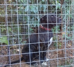 One of the dogs trapped on Ingrid's property. Photo from Cassowary Keystome Conservation.