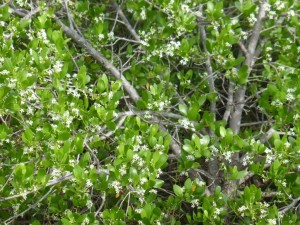 Black mangrove in flower. Photo Margaret Flecker.