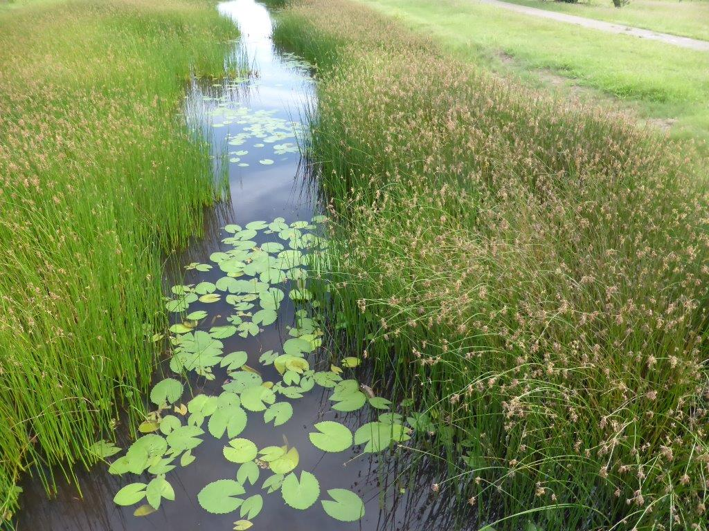 Mundy creek with bordering sedge and floating lily leaves. Photo Margaret Flecker.