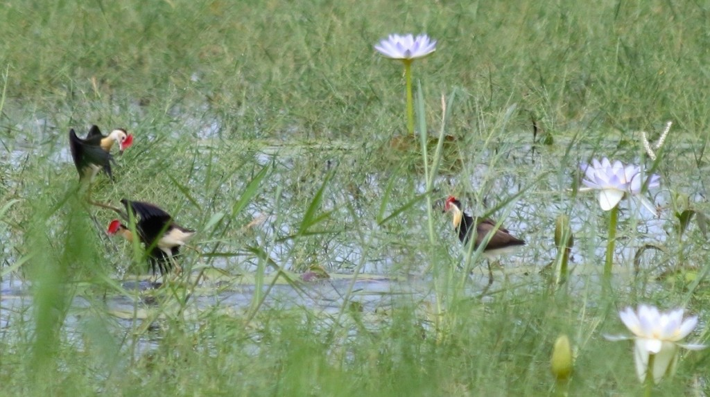 Jacanas. Photo: M.Tattersall.