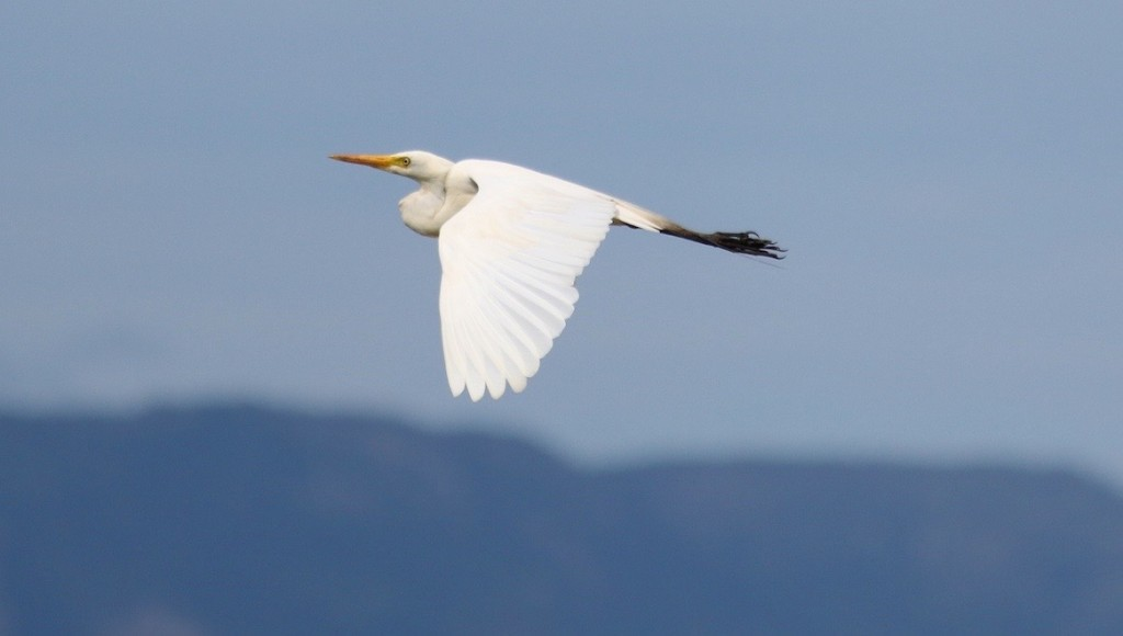 Egret. Photo: M.Tattersall.