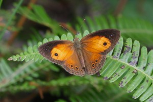 Bush Brown Butterfly M. Tattersall