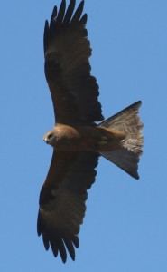 Black kite. Photo: M.Tattersall
