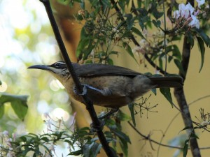 Victoria's Riflebird (female). Photo Pam Cocks.