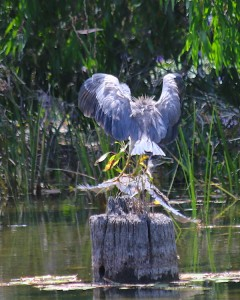 White-Faced Heron lands as Striated Heron rushes off. Photo M. Tattersall