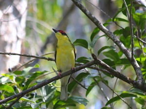 Australasian Figbird (male) Photo M.Tattersall