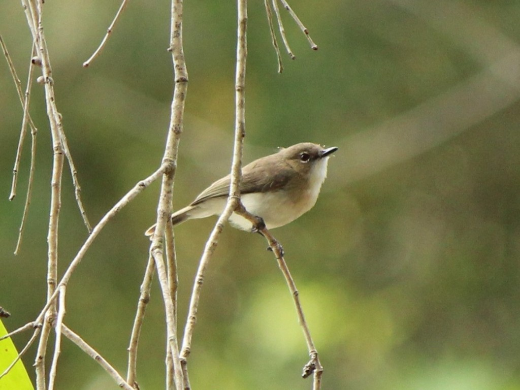 Large-Billed Gerygone Photo P. Cocks