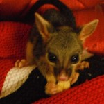Baby Raff doing well. WQ Townsville photo