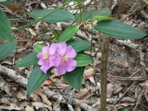 Melastoma sp flowers. Photo WQ Townsville