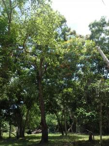 Ganophyllum falcatum tree_BB