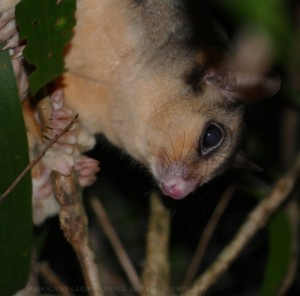 A new year photo of the endangered Mahogany Glider