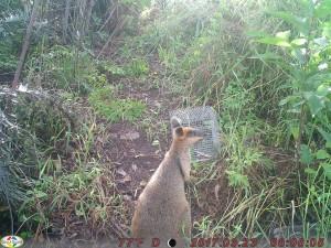 Swamp wallaby at Kinduro Hill