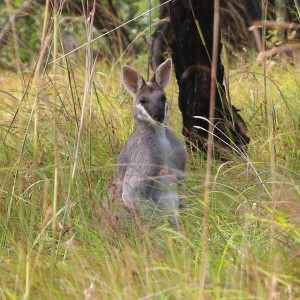 Pretty-faced Wallaby Photo M.Tattersall