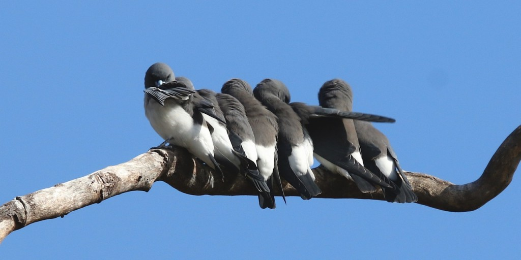 White-bellied Wood Swallows Photo M. Tattersall