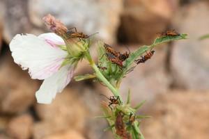 Cotton Plant Bugs Photo M. Tattersall