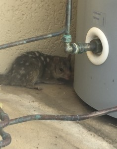 Northern quoll seeks shelter, photograph by resident.