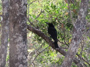 Currawong. Photo Liz Downes.