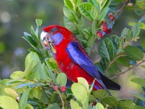 Crimson Rosella Photo M. Tattersall