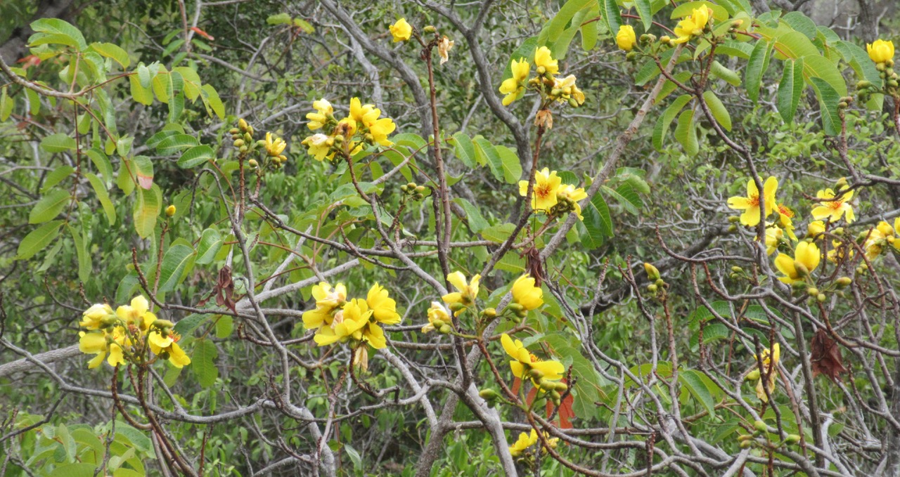 The island's floral emblem? Native Kapok in flower.