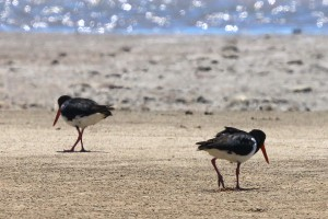Pied oystercatchers. Photo M. Tattersall.