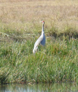 A lone brolga surveys the scene
