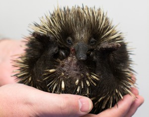 A puggle (young echidna) RSPCA image.